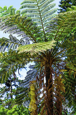 Tropical Ferns Photograph - The Lacy Tree Fern by Jenny Rainbow