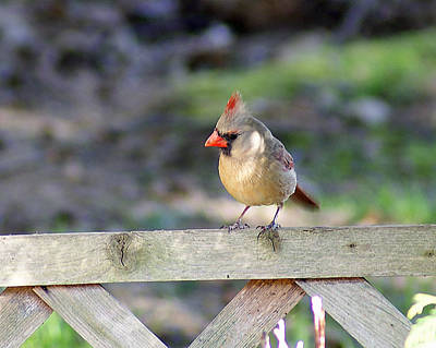Photograph - The Lady Cardinal by Margie Avellino