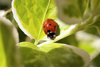 Photograph - The Ladybug  by Devon LeBoutillier