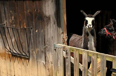 Stamford Photograph - The Llama Barn by Diana Angstadt