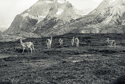 Photograph - The Lamas by Andrew Matwijec
