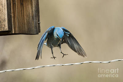 Bluebird Photograph - The Landing by Mike Dawson