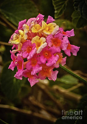 Photograph - The Lantana by Robert Bales