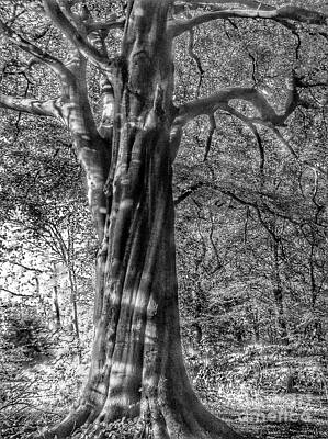 Photograph - The Large Beech Tree In Greyscale by Joan-Violet Stretch