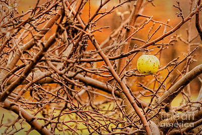 Photograph - The Last Apple by Kathleen K Parker