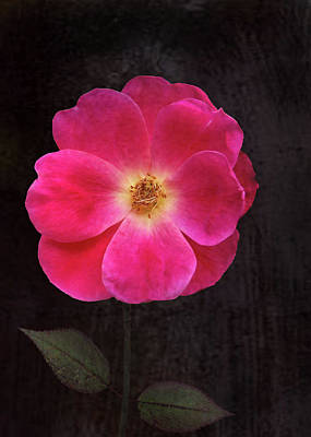 Photograph - The Last Rose by Kathi Mirto