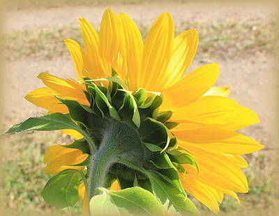 Photograph - The Last Sunflower Of Summer by Dora Sofia Caputo Photographic Design and Fine Art