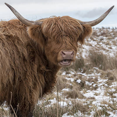 Photograph - The Laughing Cow, Scottish Version by Jeremy Lavender Photography