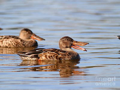 Wings Domain Photograph - The Laughing Duck by Wingsdomain Art and Photography