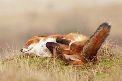 The Laughing Fox Art Print by Roeselien Raimond
