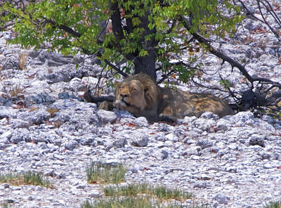 Photograph - The Lazy Lion by Ernie Echols