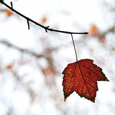 Maple Leaf Art Photograph - The Leaf by Humboldt Street