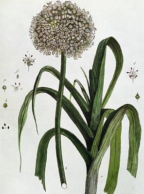 Botanical Drawing - The Leek by Nicolas Francois Regnault