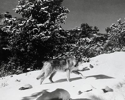 Photograph - The Legend Of Lobo by Bob Bradshaw