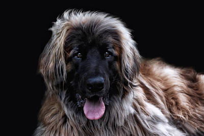 Big Dog Photograph - The Leonberger by Joachim G Pinkawa