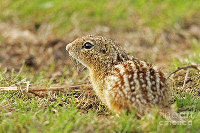 Photograph - The Leopard Ground Squirrel by Natural Focal Point Photography