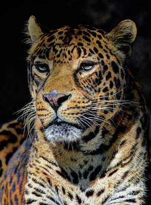 Photograph - The Leopard by Savannah Gibbs