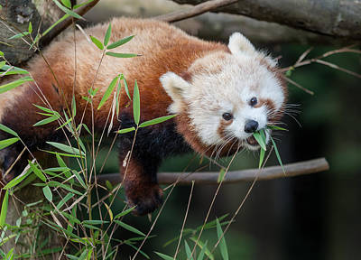 Photograph - The Levitating Red Panda by Greg Nyquist