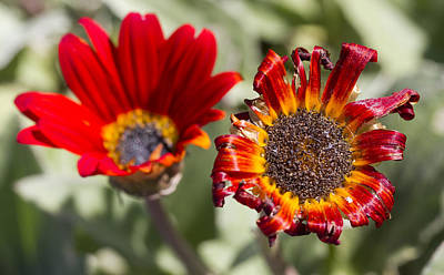 Photograph - The Life And Death Of A Flower by Nathan Rupert