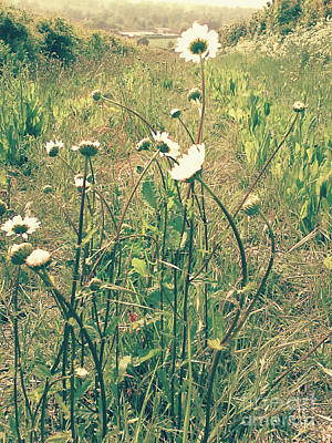 Photograph - The Life Of Daisies by Rebecca Harman