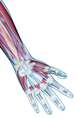Biomedical Illustration Photograph - The Ligaments Of The Hand by MedicalRF.com