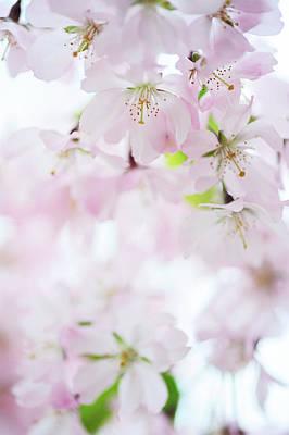 The Sakura Photograph - The Light Within by Jenny Rainbow