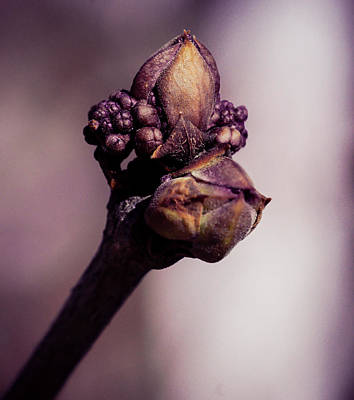 Photograph - The Lilac Bud by Cathy Donohoue