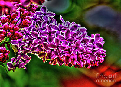Photograph - The Lilac by William Norton