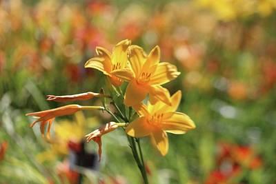 Photograph - The Lilies Arrayed by Georgia Hamlin