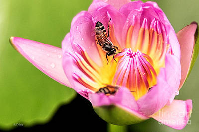 Photograph - The H2o Lily And The Bees by Rene Triay Photography