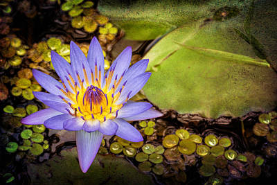 Photograph - The Lily Pond by Susan Rissi Tregoning