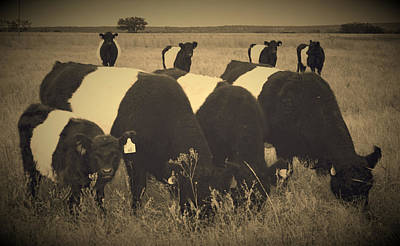 Belted Galloway Photograph - The Line-up by Kori Creswell
