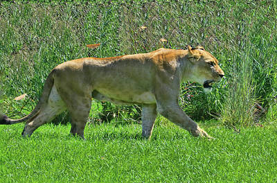 Photograph - The Lion Queen # 2 by Allen Beatty