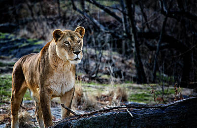 Photograph - The Lioness by Karol Livote