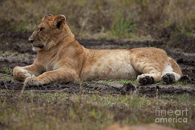 Lionesses Photograph - The Lioness by Nichola Denny