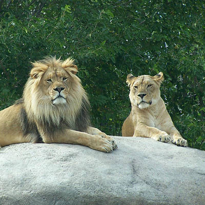 The Lions Art Print