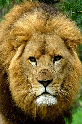 Photograph - The  Lion's Stare by Tony Brown