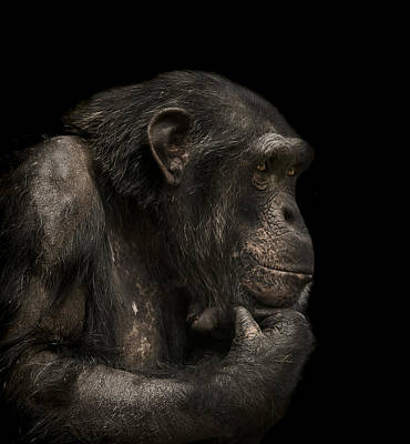 Chimpanzee Photograph - The Listener by Paul Neville