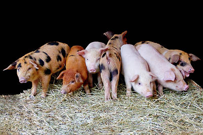 Flavia Photograph - The Little Babies Pigs by Flavia Mendes Gomes