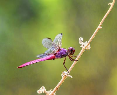 Photograph - The Little Pink Dragonfly  by Saija Lehtonen