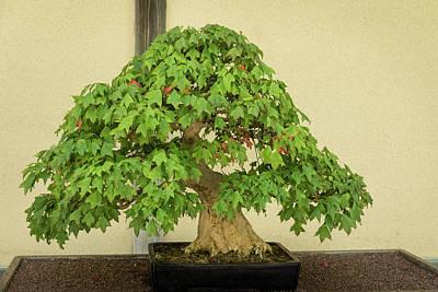 Photograph - The Living Art Of Bonsai - An Old Maple Tree In Miniature by Georgia Mizuleva