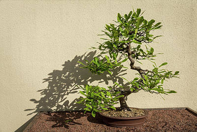 Photograph - The Living Art Of Bonsai - Old Twisted Beech Tree In Miniature by Georgia Mizuleva