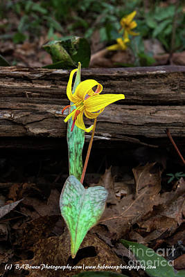 Photograph - The Lone Trout Lily by Barbara Bowen
