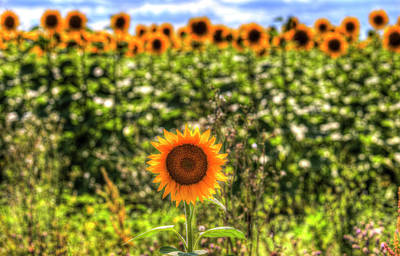 Photograph - The Lonesome Sunflower by David Pyatt