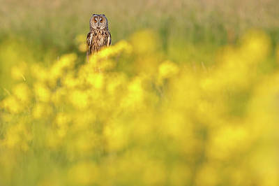 The Long Eared Owl In The Flower Bed Print by Roeselien Raimond