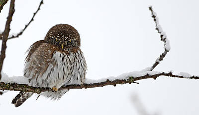 Pygmy Owl Wall Art - Photograph - Northern Pygmy Owl by Whispering Peaks Photography