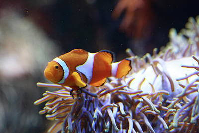 Clown Fish Photograph - The Look Out by Paul Slebodnick