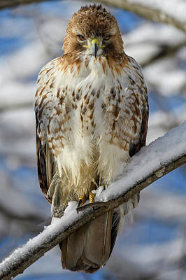 Photograph - The Look, Red Tailed Hawk by Michael Hubley