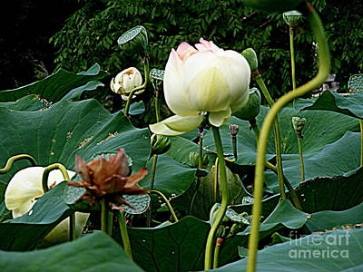 Photograph - The Lotus Ensemble by Nancy Kane Chapman