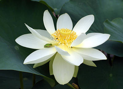 Photograph - The Lotus Flower The Frog And The Bee by Gary Crockett